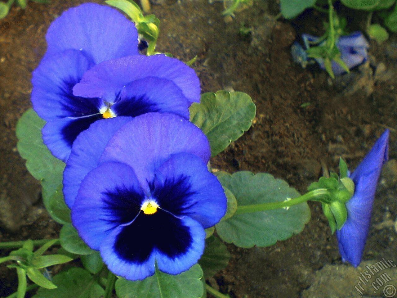 Совет 1: Как вырастить анютины глазки из семян 28