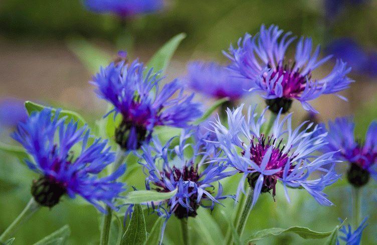 Выращивание васильков в саду: посадка и уход 79