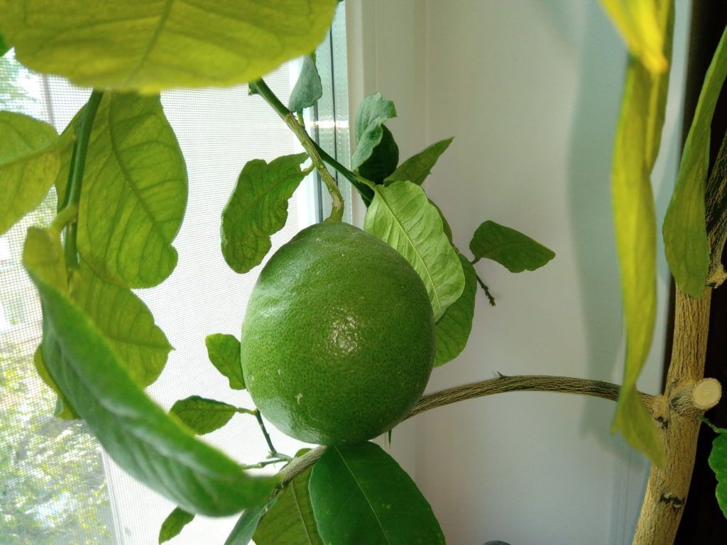 Размножение лимона черенками 44