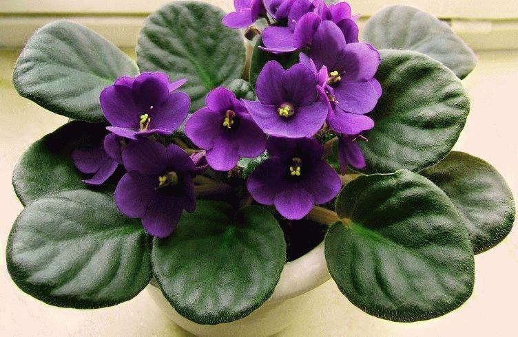 Виды комнатного растения цикламен (персидский, европейский) 94