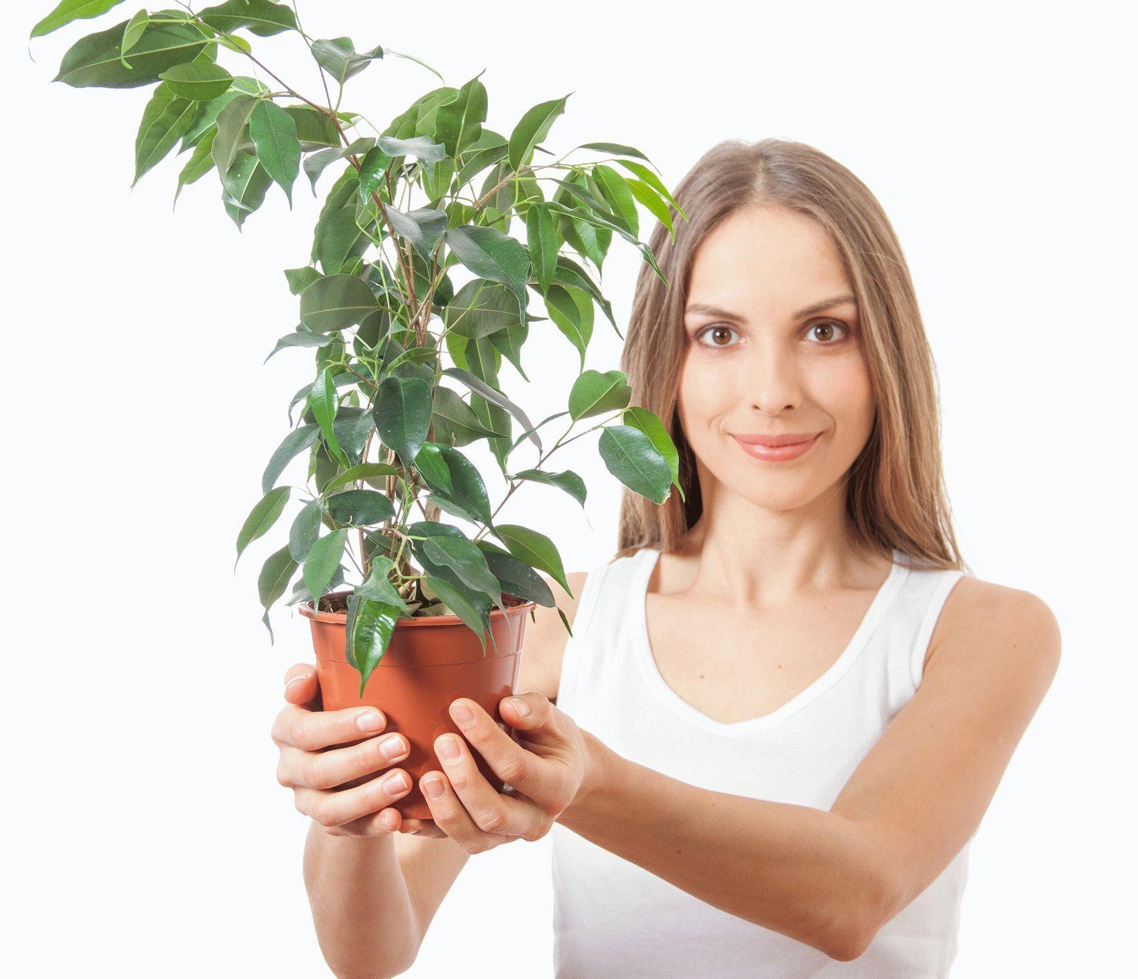 Болезни хризантем и их лечение фото