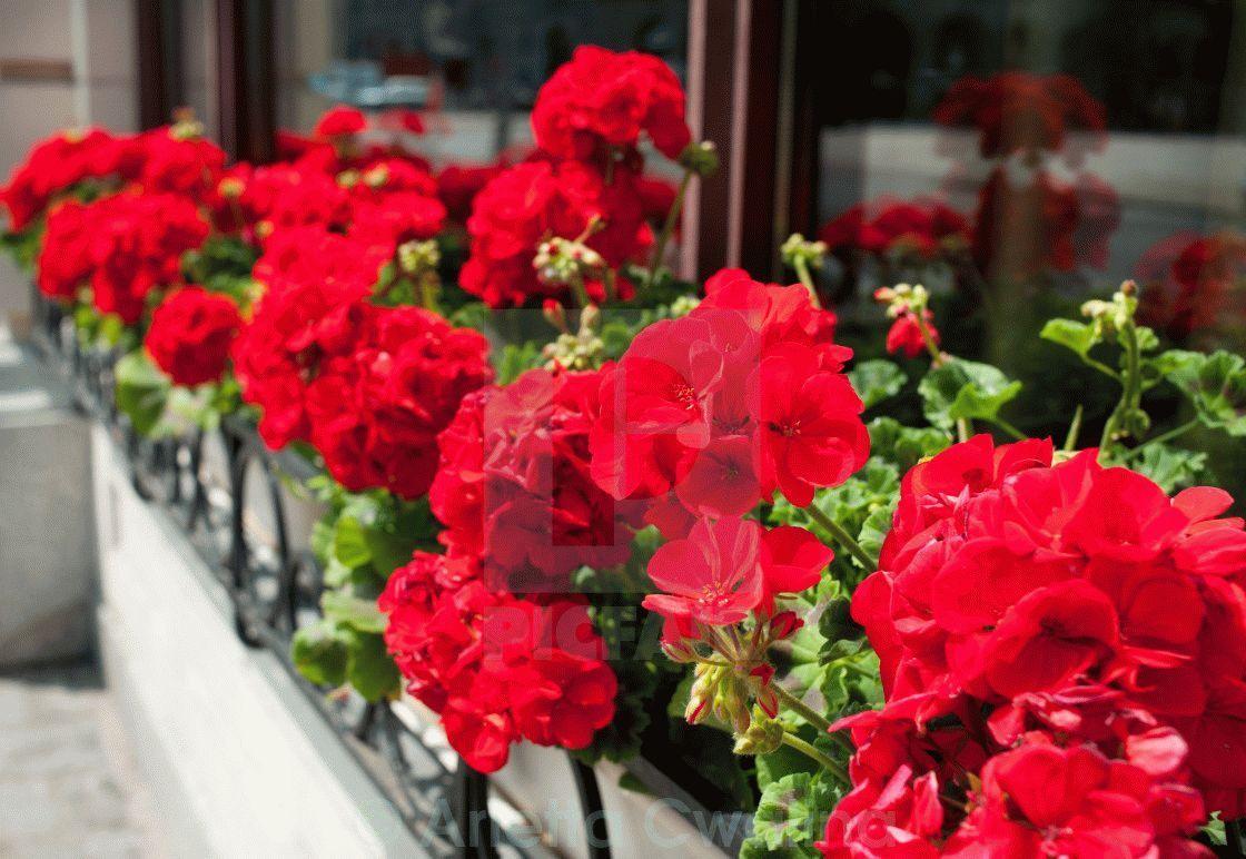 Эхинокактус грузони красный цветение