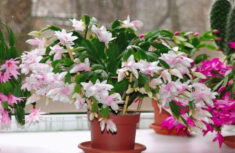 Комнатные цветы красивые и неприхотливые