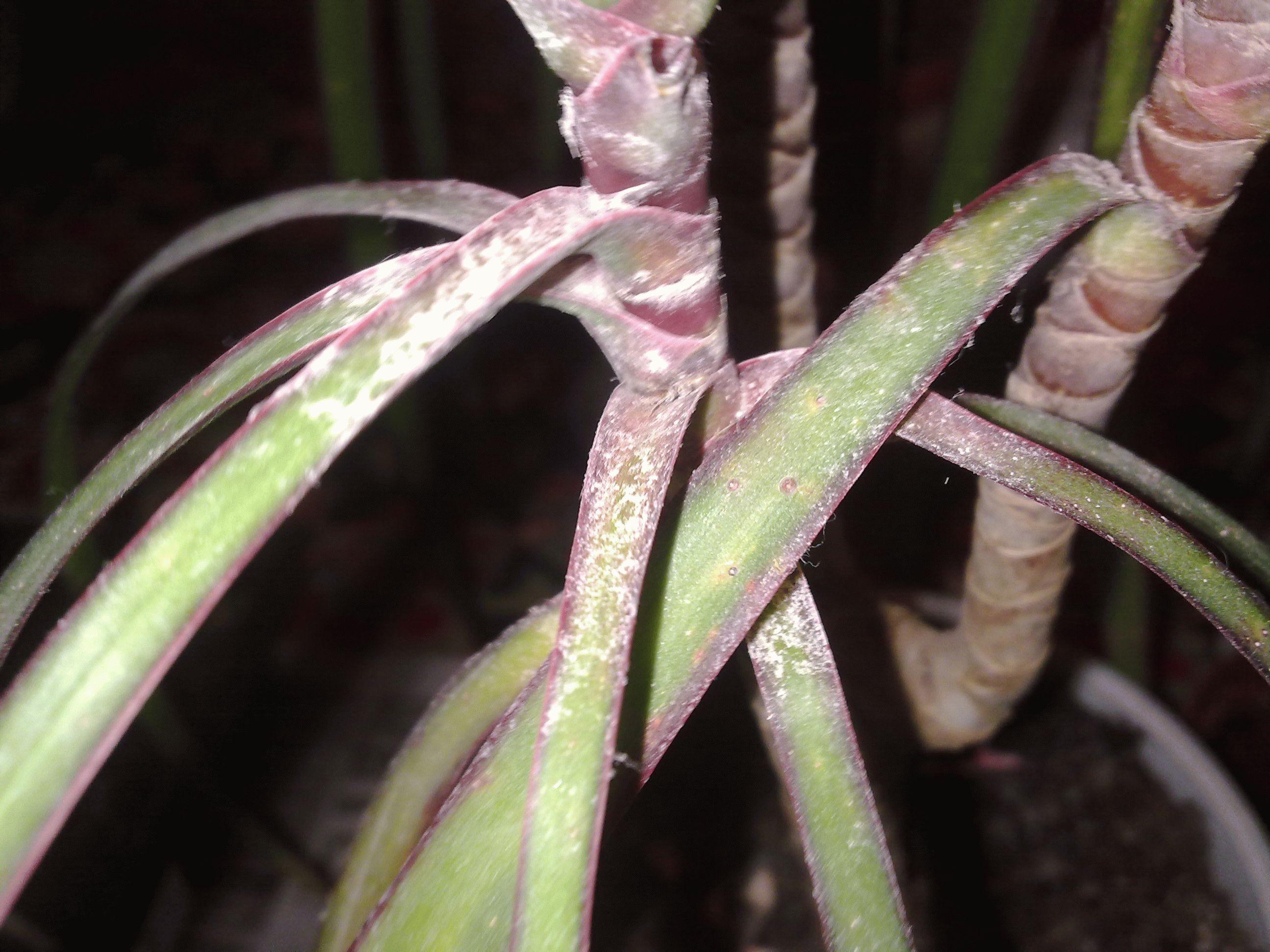 Почему у хамедореи чернеют листья
