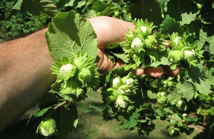 Выращивание на даче фундука 85