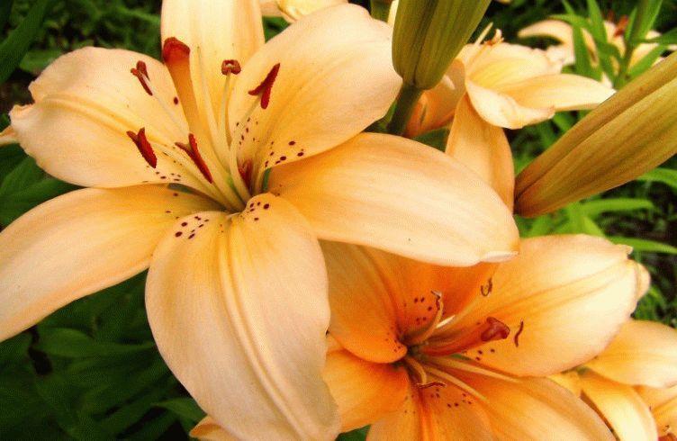 домашние лилии