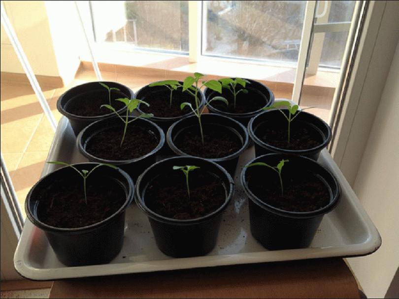 Выращивание рассады ели в домашних условиях 54