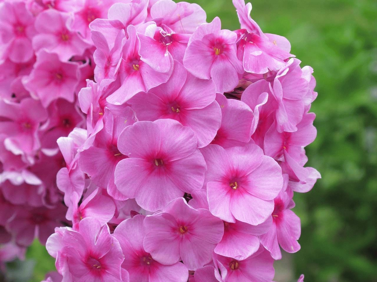 Флоксы многолетние цветы в саду. Посадка и уход. Популярные 5