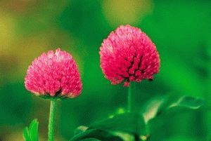 red-clover-herb-skin-care-eczema-psoriasis-natural-remedies