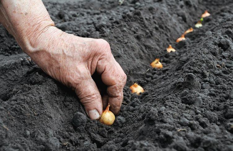 Лук и морковь: сажаем и сеем под зиму. Мастер-класс из личного 10