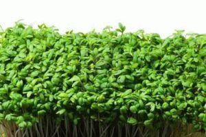 4536501-fresh-and-tasty-cress-for-a-lot-of-meals-in-the-modern-kitchen