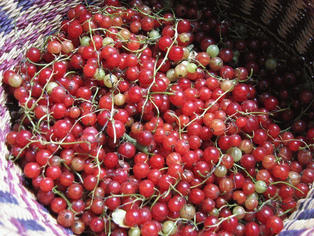 Сорта красной смородины для ленинградской области