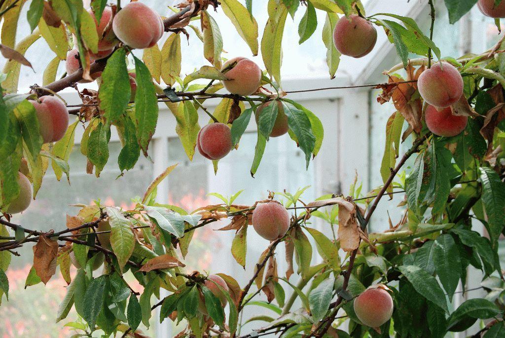 Как посадить персик в домашних условиях 598