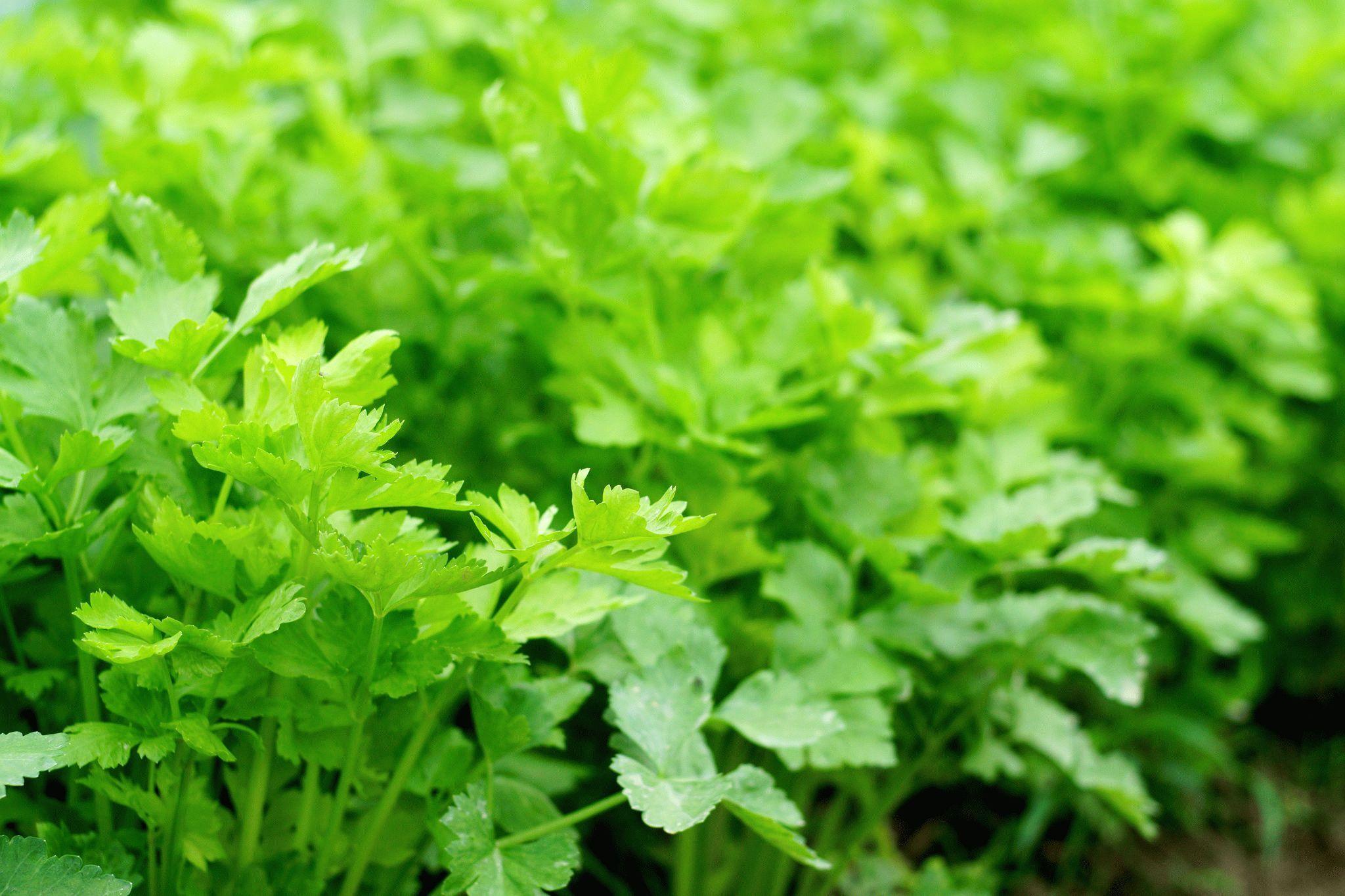 Сельдерей - полезные свойства сельдерея, польза и вред ...