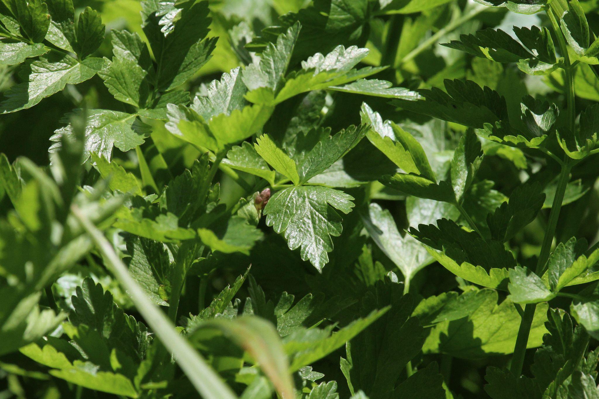 Сельдерей черешковый выращивание и уход в открытом грунте 39