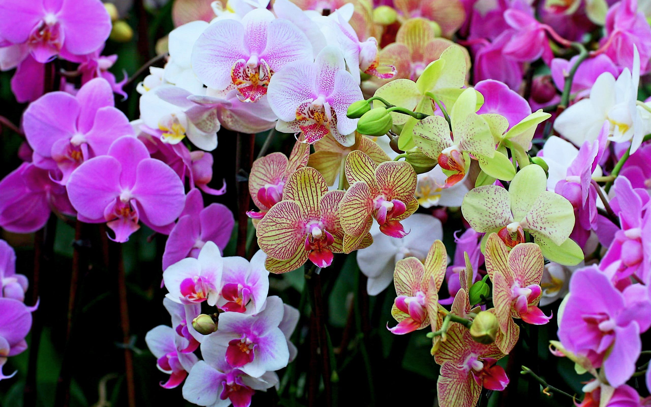 Комнатный цветок орхидея. фото и уход