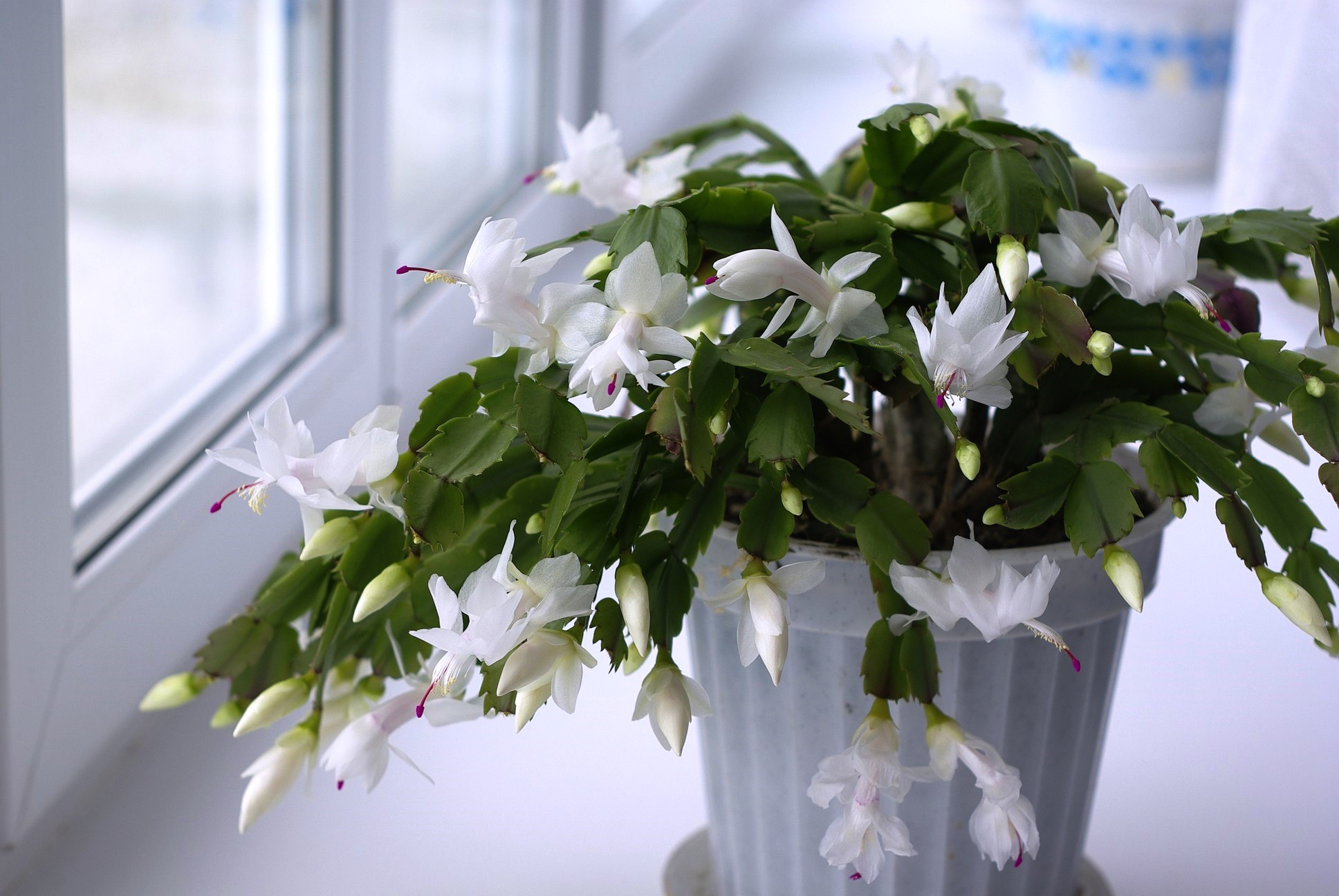 Цветы декабрист картинки