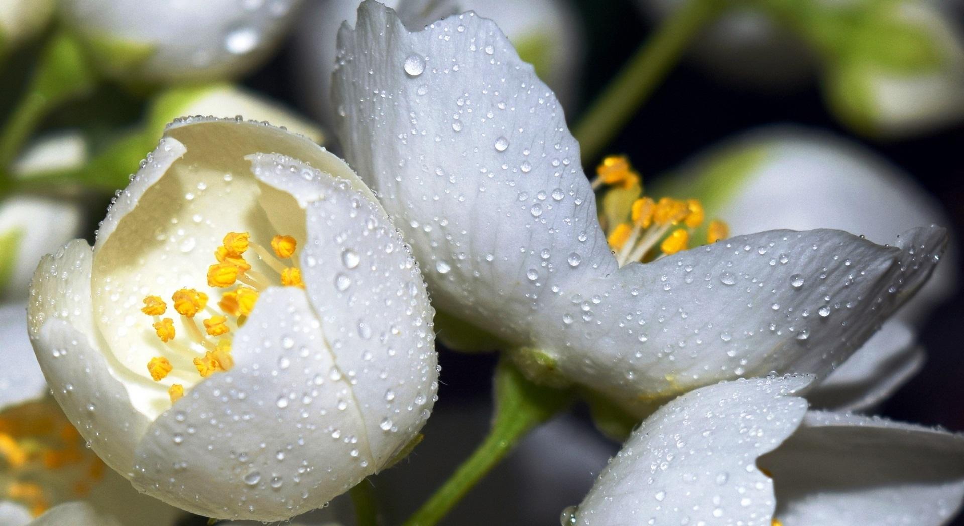 Цветок жасмина открытки