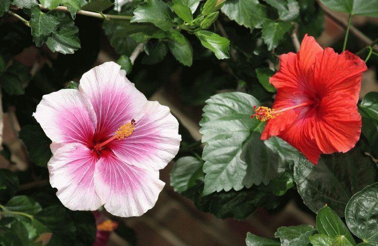 Как вырастить садовый гибискус: посадка семян, размножение и уход за цветами на зиму