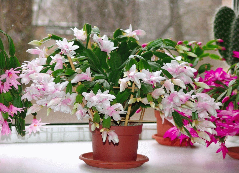 Лечебный цветок комнатный фото как у него название