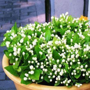 Bonsai-flower-plant-four-seasons-white-jasmine-seedlings-flower-seeds-kwei-50PCS-LOT-Free-shipping