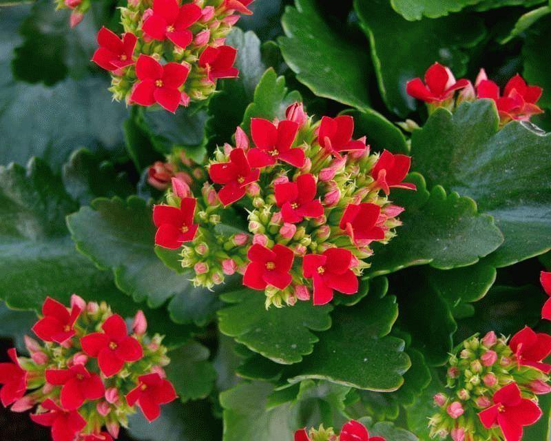 Kalanchoe-blossfeldiana1