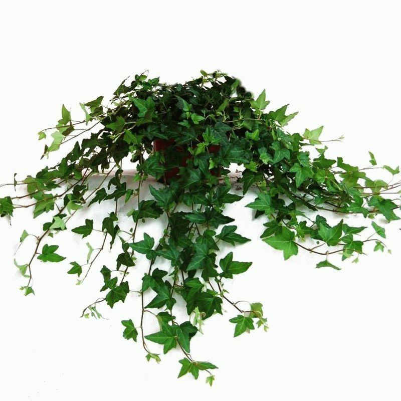 плетущиеся комнатные растения фото с названиями полтора месяца