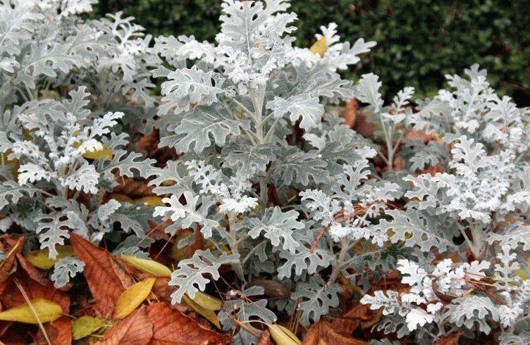 Как вырастить в домашних условиях и в саду цинерарию Серебристую