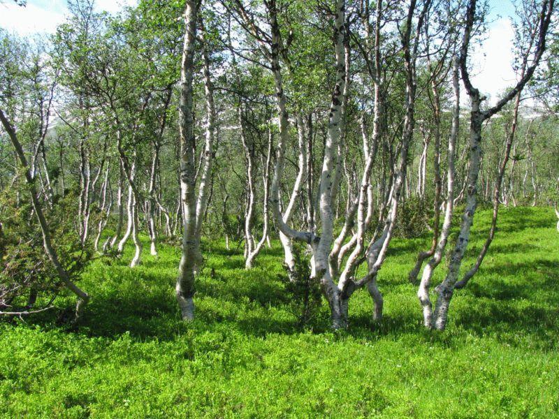 Mountain-birch-Trollheimen