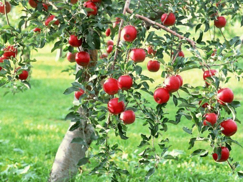 fruits_apples_fruit_trees_1024x768_wallpaper_Wallpaper_1600x1200_www.wallpaperswa.com