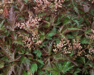 astilba-golaya-saxatilis
