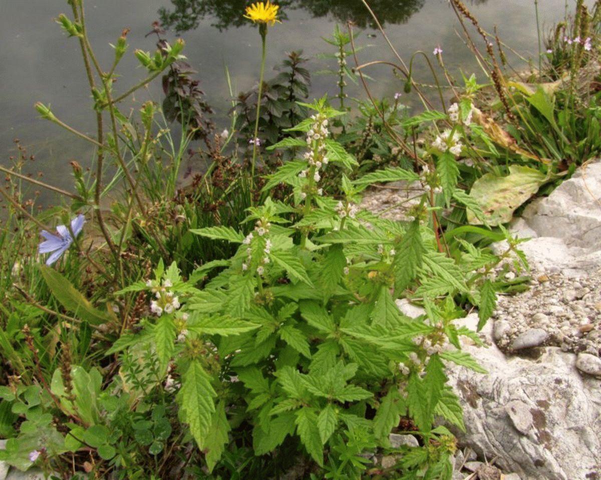 снимке зюзник лекарственная трава фото линзы только корригируют