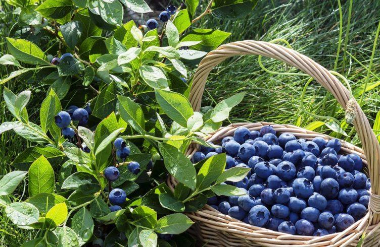 ягоды годжи условия выращивания в открытом грунте в московской области