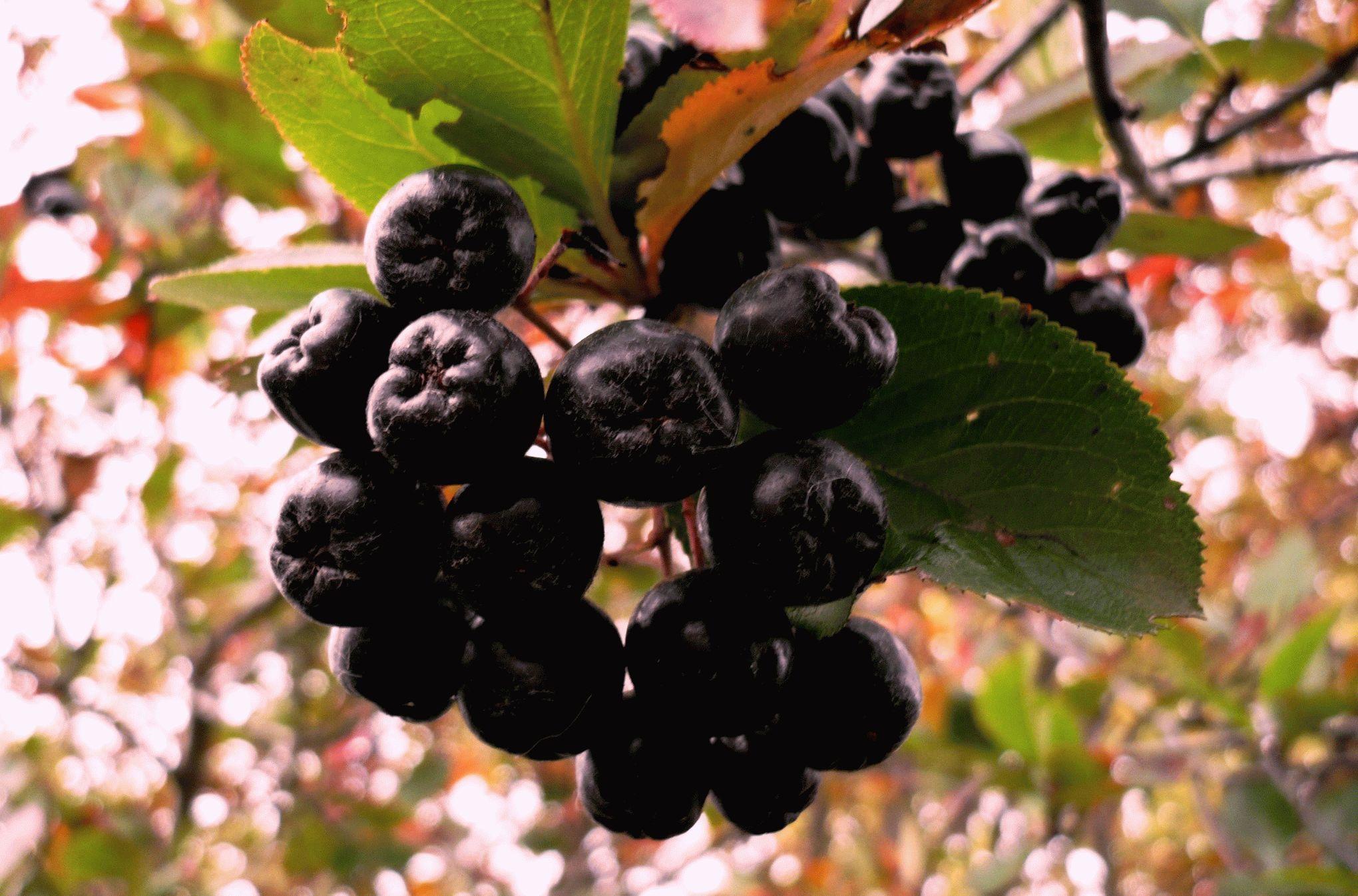 Посадка, выращивание и уход за черноплодной рябиной
