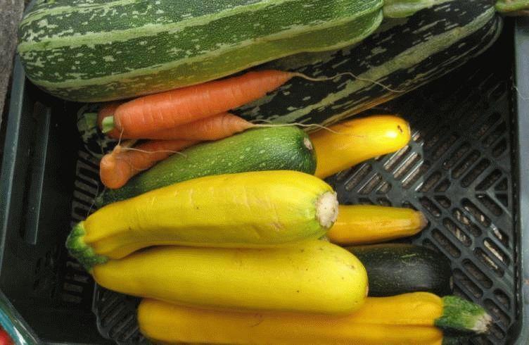лучшие семена кабачков для открытого грунта