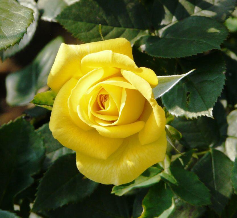 Картинки белой чайной розы