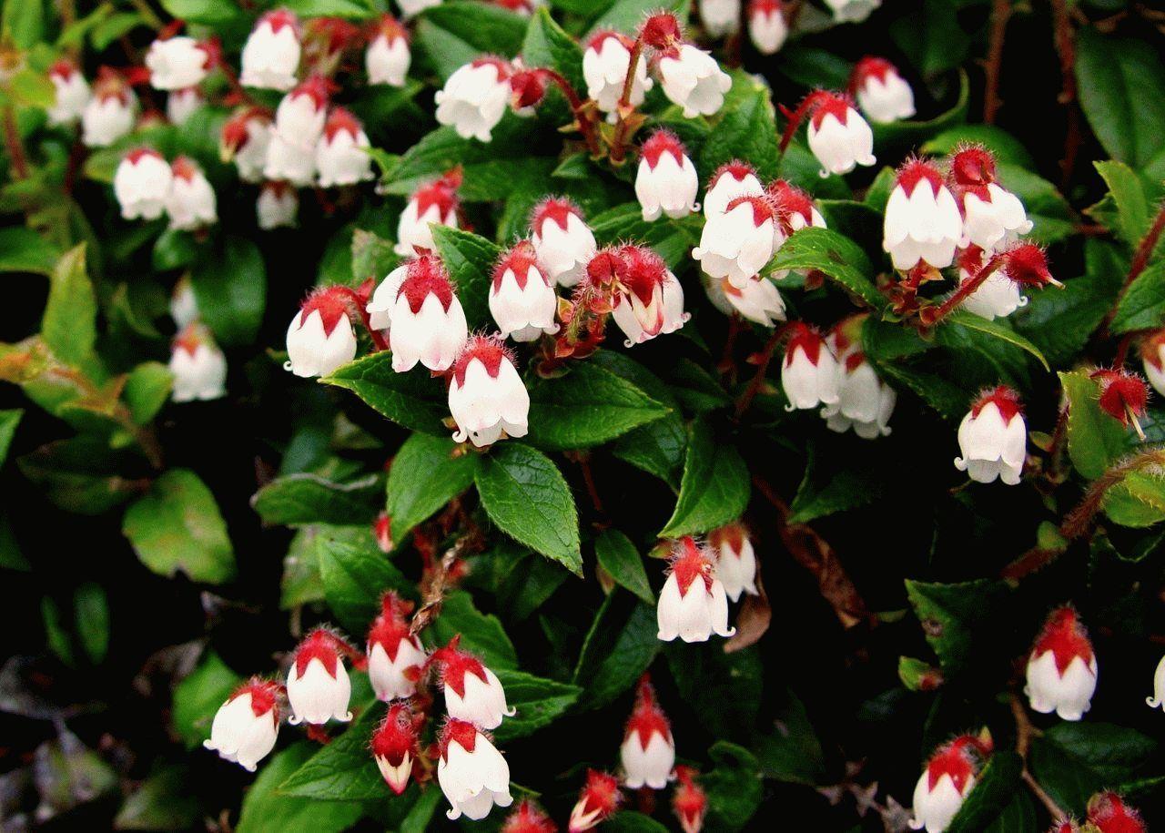 номер прямо садовые цветы любящие тень фото и название связи