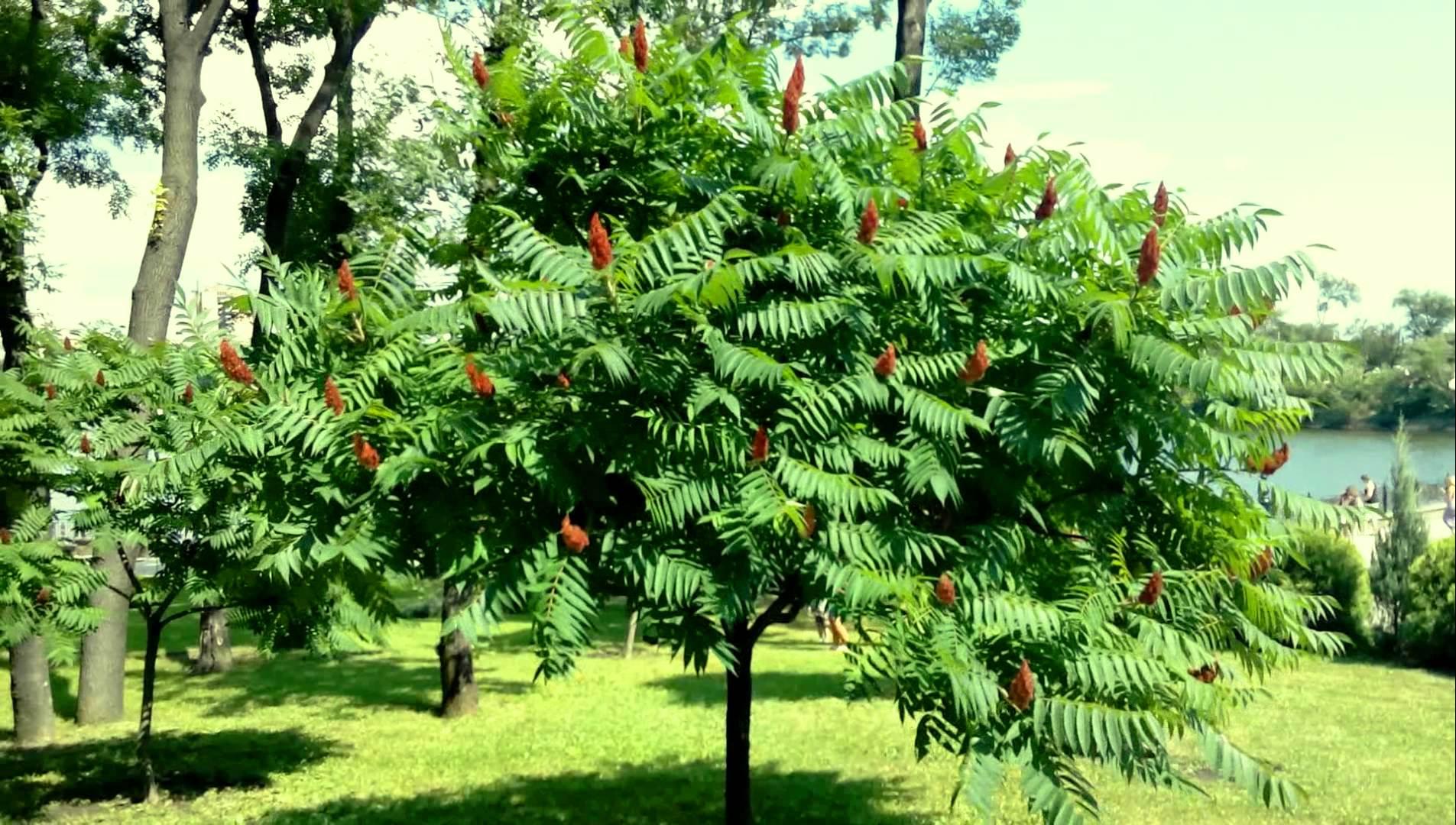 деревья и кустарники краснодарского края фото и описание