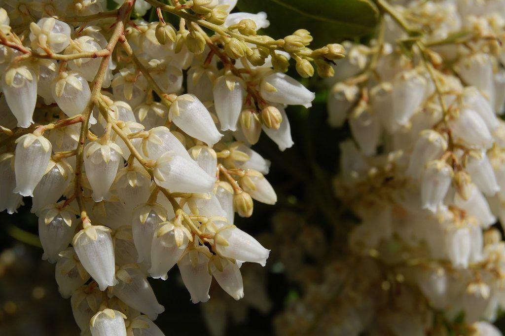 Ландышевое дерево фото